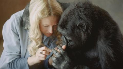 Koko - The Gorilla Who Talks -- Battle for Koko
