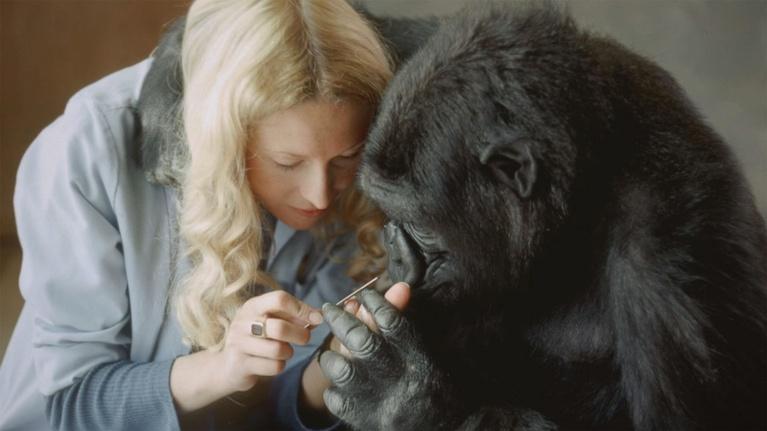 Koko - The Gorilla Who Talks: Battle for Koko