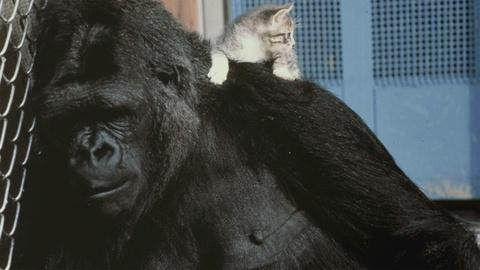 Koko - The Gorilla Who Talks -- Koko's Kitten