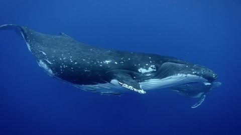 Life on the Reef -- Humpback Whales