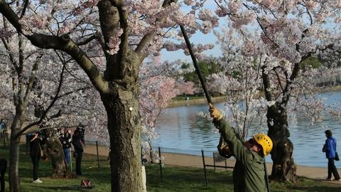 The National Mall – America's Front Yard -- The Cherry Blossoms