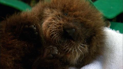 Nature -- S32 Ep1: Saving Otter 501: Meet Otter 501