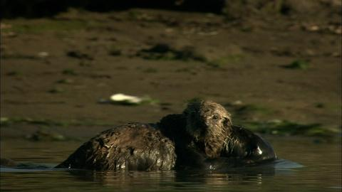 Nature -- S32 Ep1: Saving Otter 501: Education of Otter Pup
