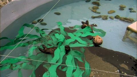 Nature -- S32 Ep1: Saving Otter 501: Intro of Toola