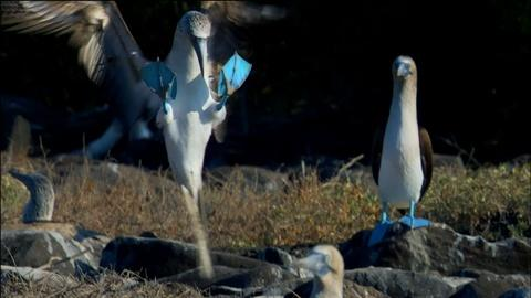 Nature -- S32 Ep3: Dance of the Blue-Footed Booby