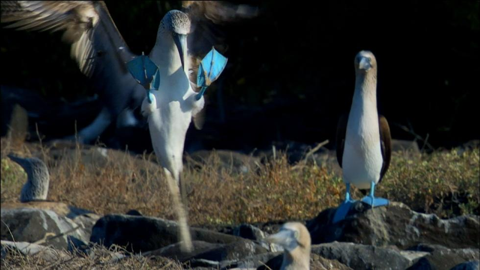 Dance of the Blue-Footed Booby image