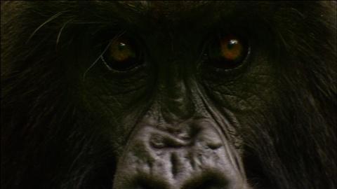 Nature -- S32 Ep2: Gorilla Love Games