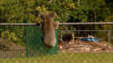 A Koala Roams the Suburbs