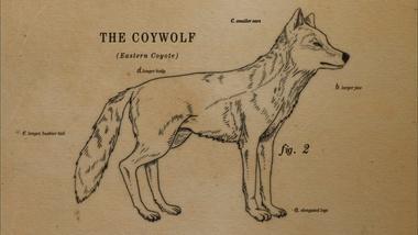 Coyote Husky Mix