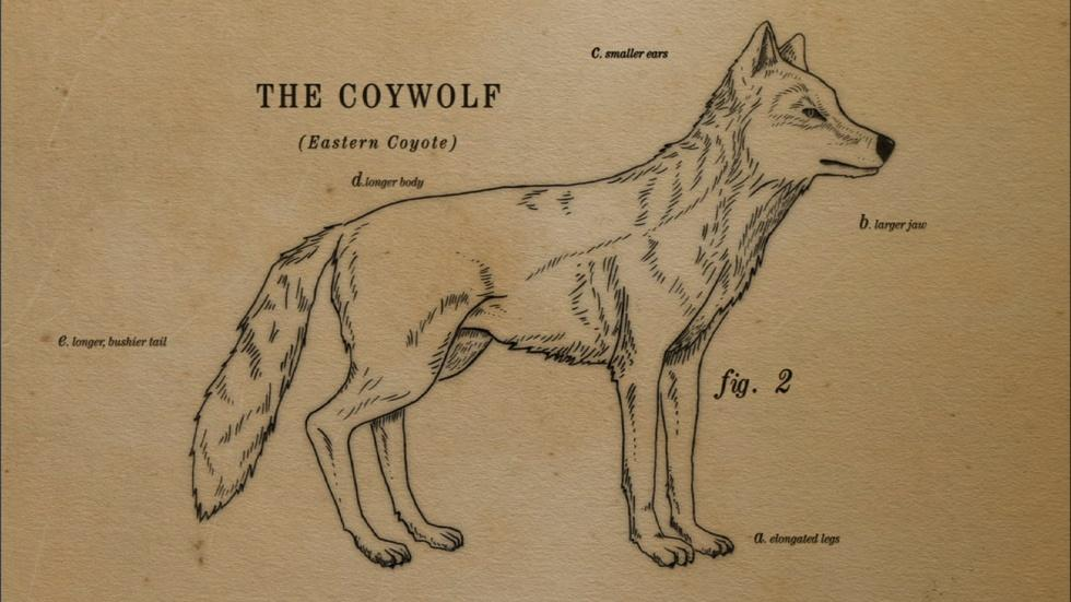How the Coywolf is a Coyote/Wolf Hybrid image