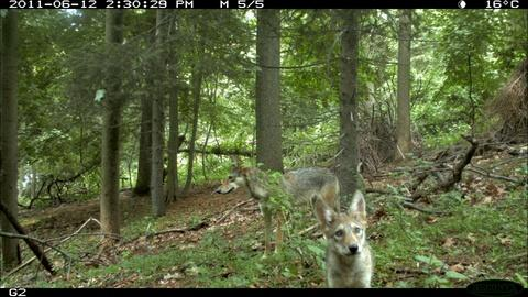 Nature -- S32 Ep4: Field Study: The Coywolf and its New York City habi