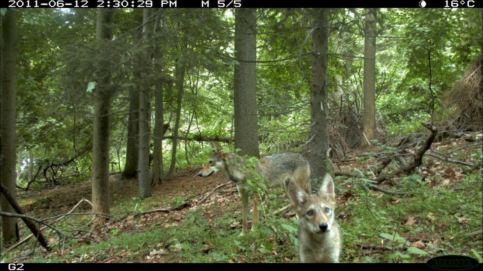 Field Study: The Coywolf and its New York City habitat image