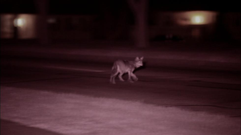 Field Study: The Original Coyote and its Chicagoland habitat image