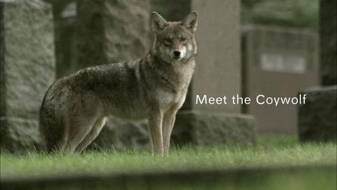 Nature -- Meet the Coywolf