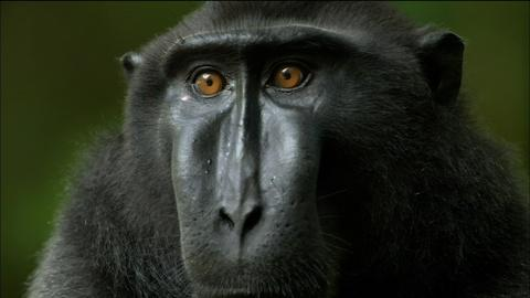 Nature -- S32 Ep4: Life Inside a Crested Black Macaque Troop