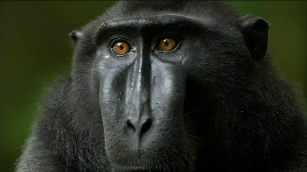 S32 Ep4: Life Inside a Crested Black Macaque Troop image