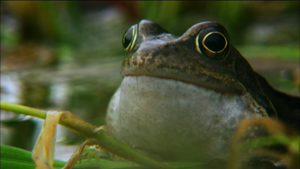 Frog mating season on the Shannon image