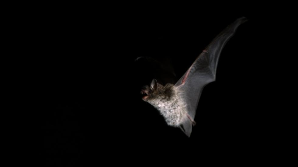 A bat night flight over the Shannon image