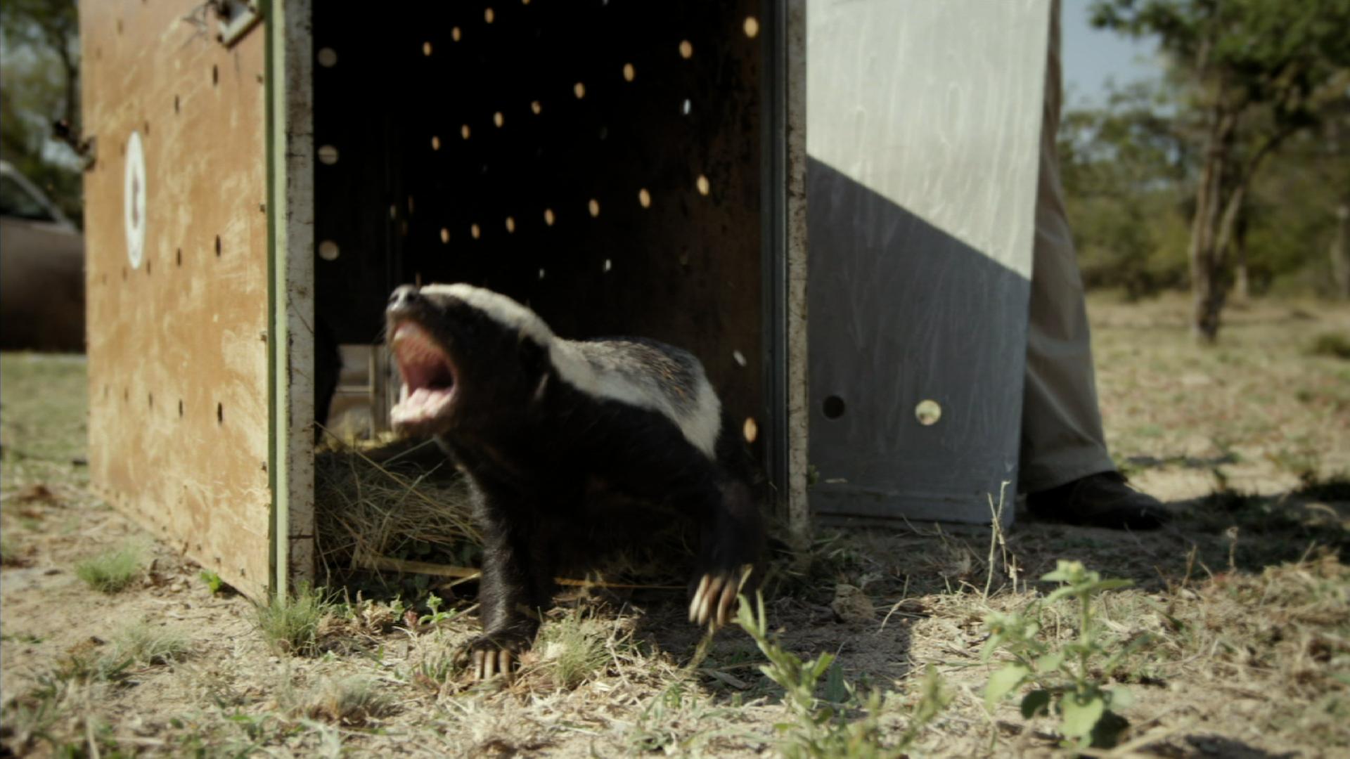 Honey Badgers: Masters of Mayhem