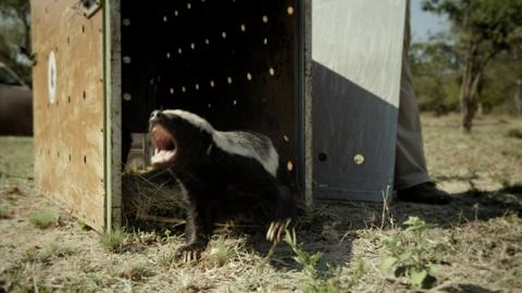 Nature -- Honey Badgers: Masters of Mayhem