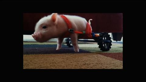 Nature -- S32 Ep8: Meet Chris P. Bacon, Pig in a Wheelchair