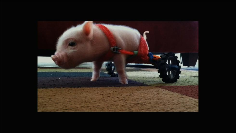 Meet Chris P. Bacon, Pig in a Wheelchair image