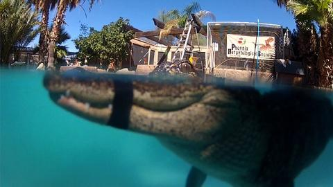 """Nature -- S32 Ep8: """"Mr. Stubbs"""" Alligator with Prosthetic Tail Learns"""