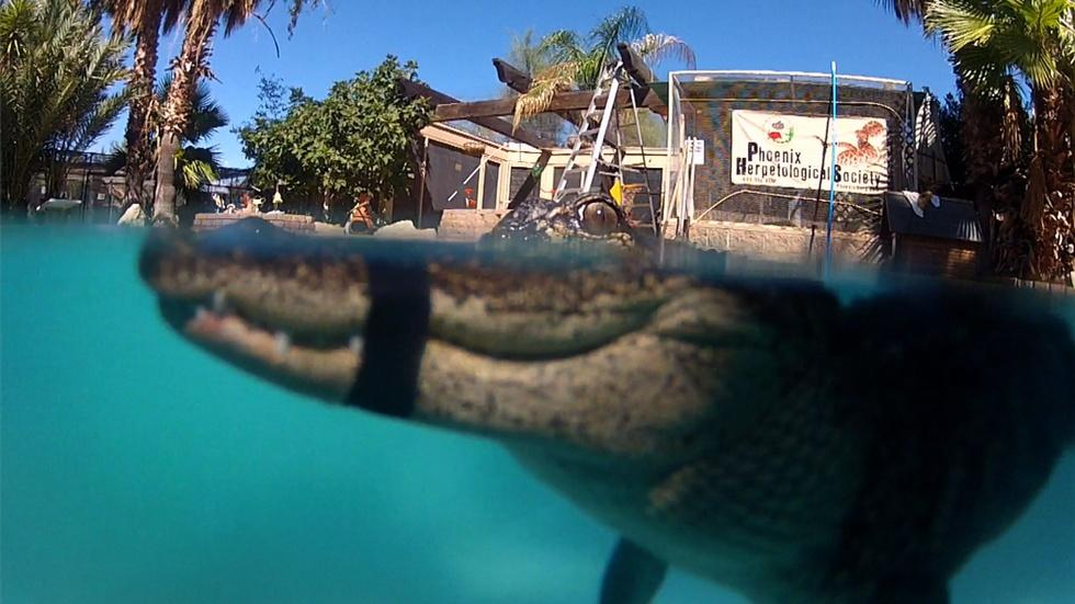 """Mr. Stubbs"" Alligator with Prosthetic Tail Learns to Swim image"
