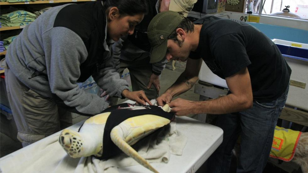 Sea Turtle With One Flipper Gets New Rudder Prosthetic  image