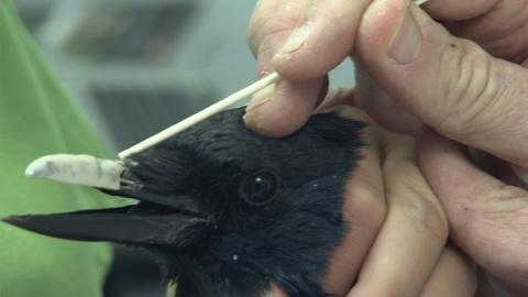 Nature -- S32 Ep8: Injured Crow Gets a New Acrylic Beak