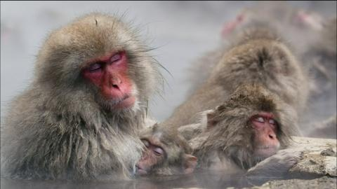 Nature -- Japanese Snow Monkeys Soak in Hot Springs