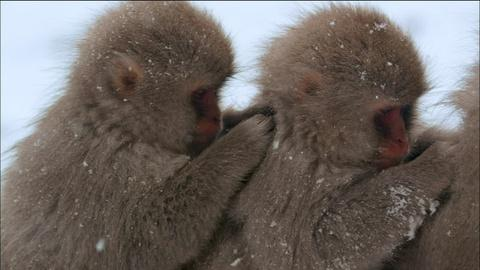 Nature -- Snow Monkeys Grooming