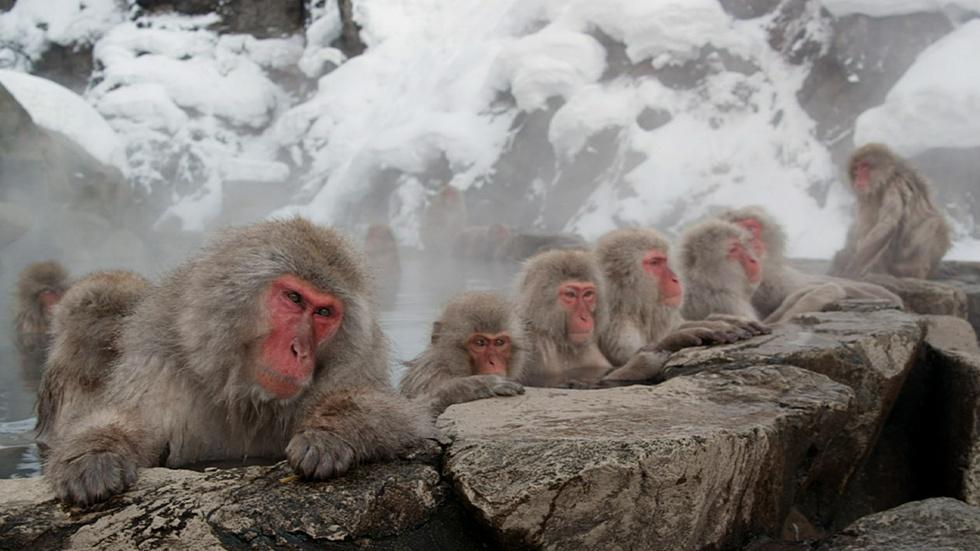 Snow Monkeys image
