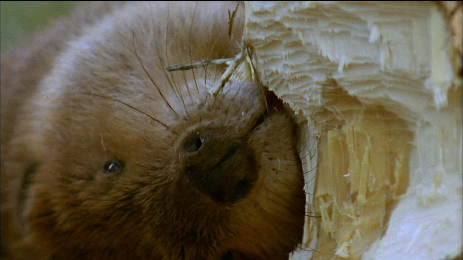 How Beavers Build Dams
