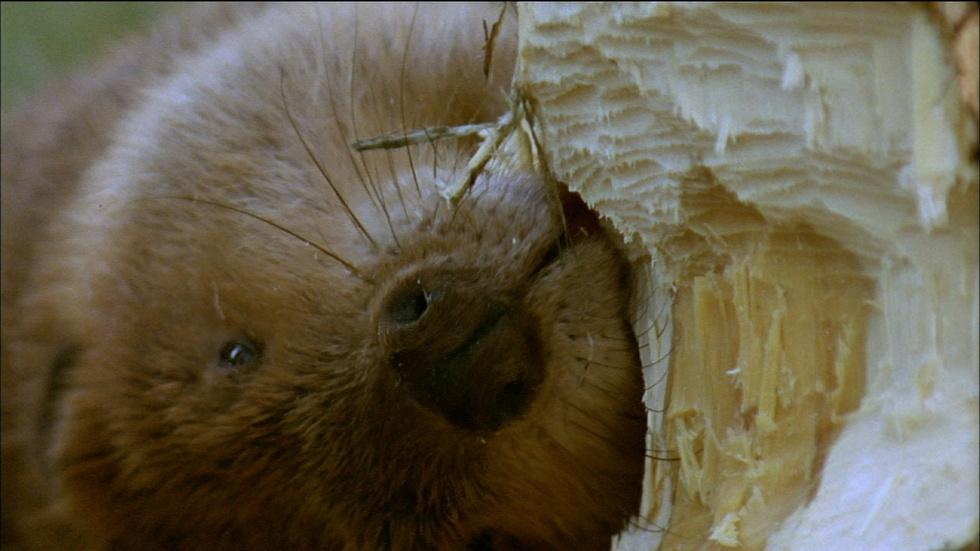 How Beavers Build Dams image