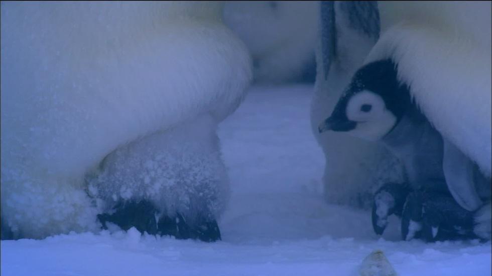 S32 Ep12: Emperor Penguins Huddle to Keep Warm image