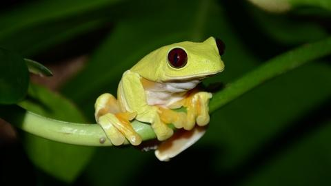 Nature -- Trailer: Fabulous Frogs