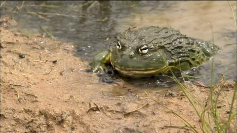 Nature -- S32 Ep13: Bullfrog Dad Protects the Brood
