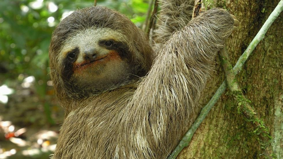 Three-toed Sloth: The Slowest Mammal On Earth image