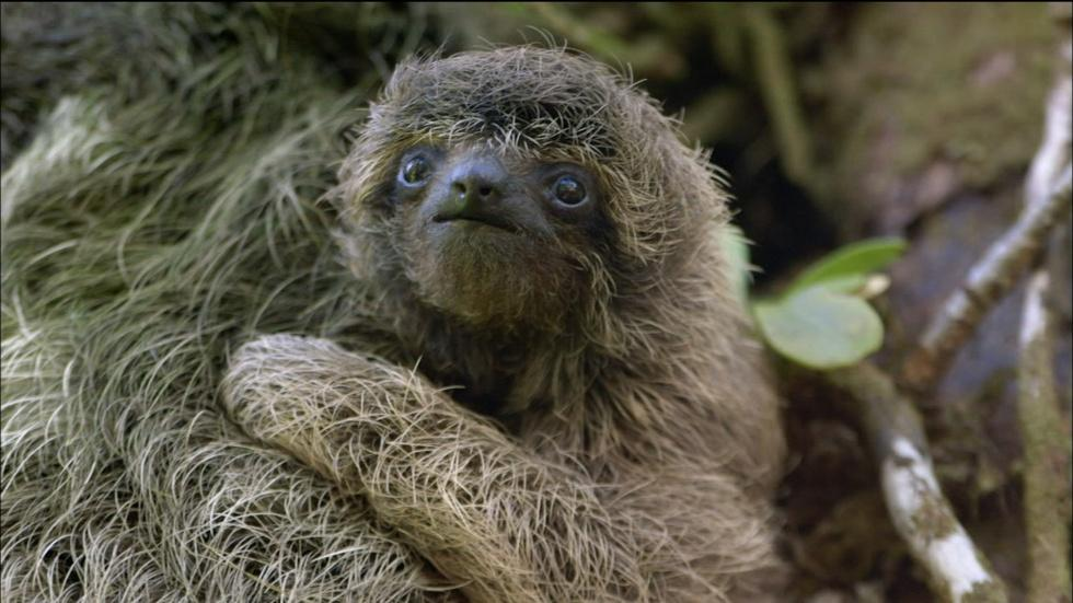 Baby Pygmy Sloth Clings to Mom image