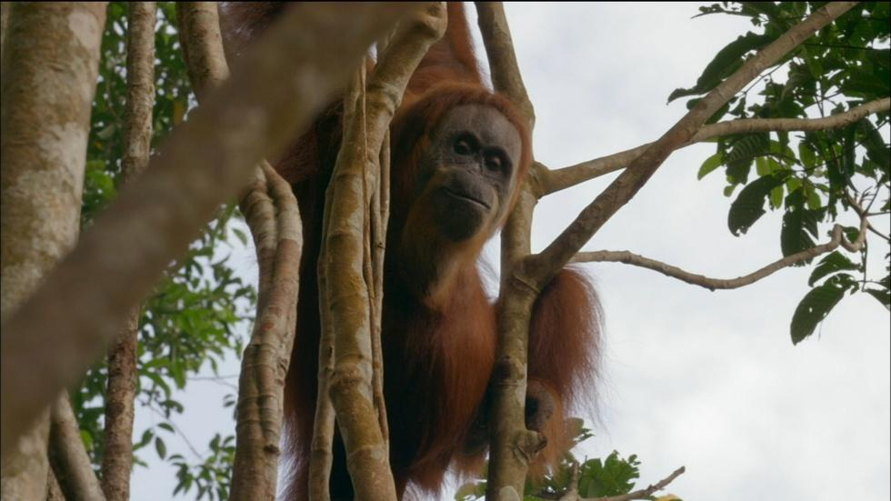 Orangutan Mom Helps Baby Swing Through Tree Tops image