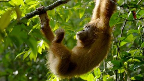 Nature -- The Last Orangutan Eden