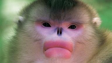 Mystery Monkeys of Shangri-La - Preview