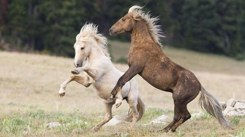 Nature -- Cloud: Challenge of the Stallions