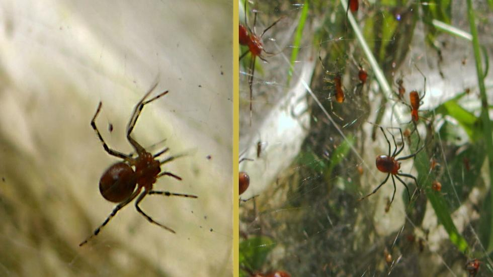 Social Spiders Build Massive Nests  image