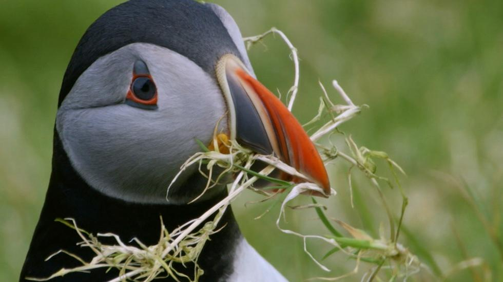 Puffins Search for the Perfect Home  image