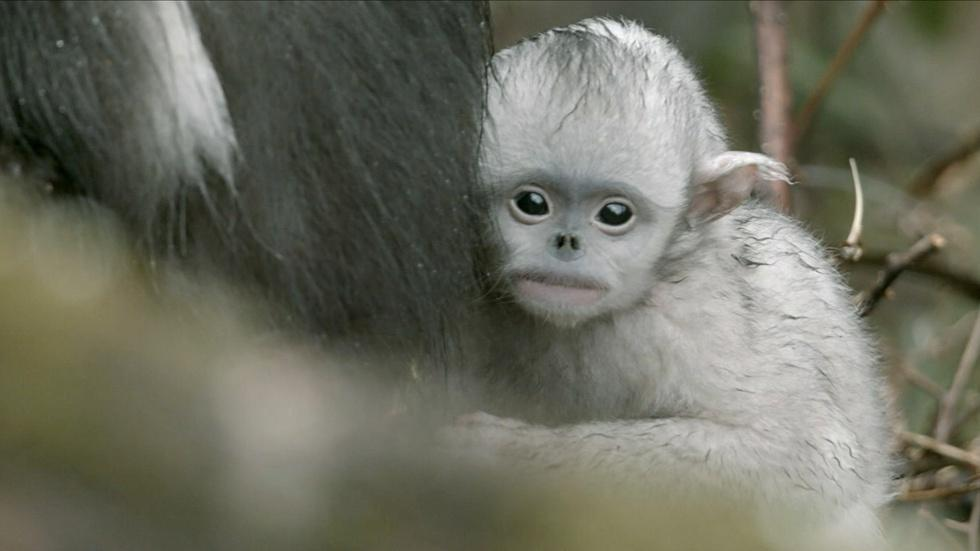 Baby Snub-nosed Monkey Abandoned by Mother  image