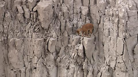 Nature -- S33 Ep12: Desert Goat Scales Steep Cliff Face