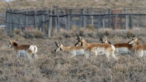 Nature -- S33 Ep13: Fences Create Problems for Pronghorn