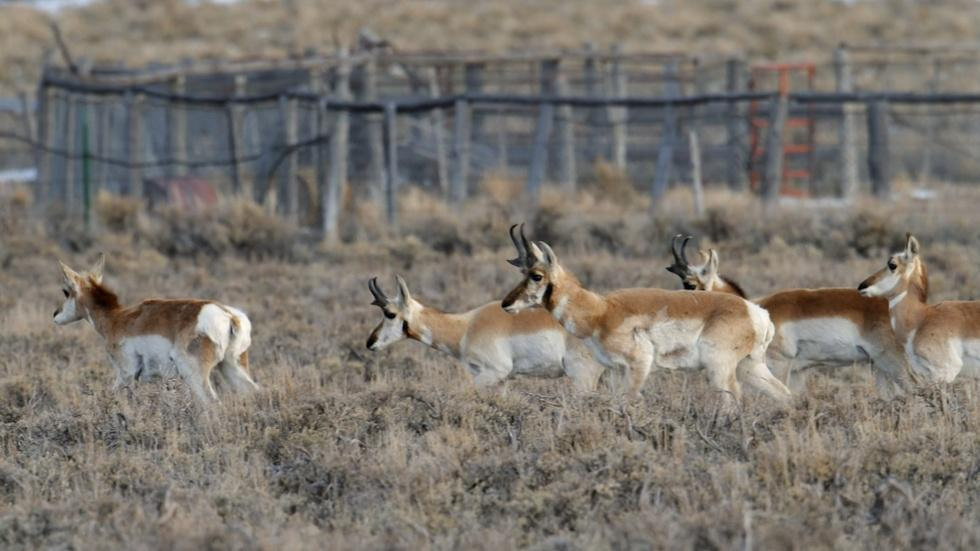 Fences Create Problems for Pronghorn image